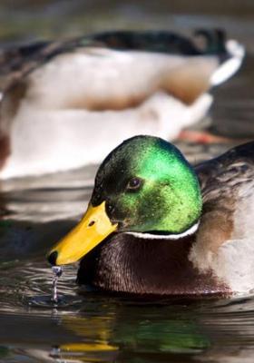 Green Duck Drink Water  Mobile Wallpaper