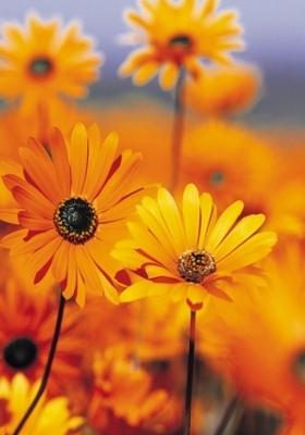 Golden Flowers Mobile Wallpaper