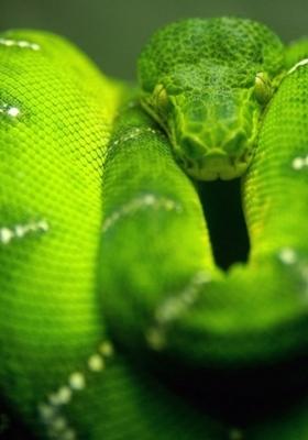Green Snake Mobile Wallpaper