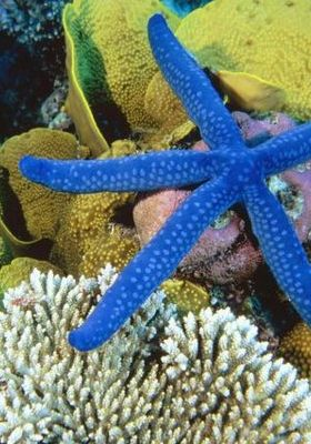 Starfish Great Barrier Mobile Wallpaper
