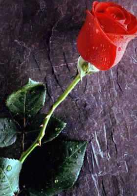 True Love Forever Mobile Wallpaper