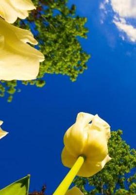 Yellow Tulips Mobile Wallpaper
