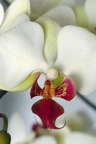 Beautiful Orchid Mobile Wallpaper