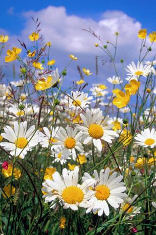 Wildflowers Mobile Wallpaper