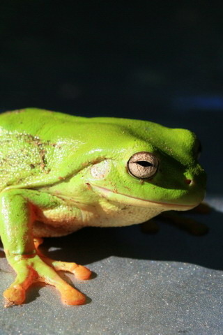 Green Frog Mobile Wallpaper