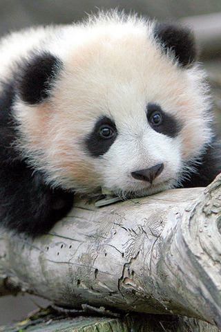 Baby Cute Panda IPhone Wallpaper Mobile Wallpaper
