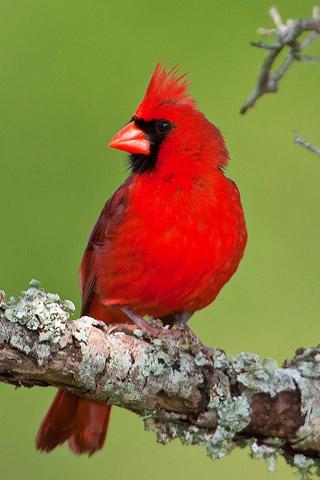 Cardinal Red Animal IPhone Wallpaper Mobile Wallpaper