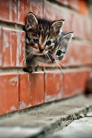 Download Curious Kittens IPhone Wallpaper Mobile Wallpaper ...