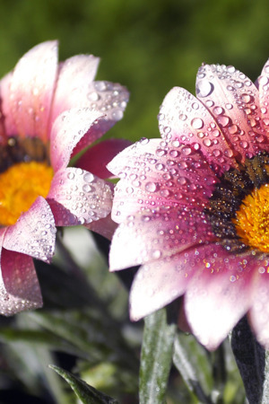 Flowers With Dew IPhone Wallpaper Mobile Wallpaper