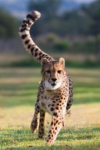 Cheetah Running IPhone Wallpaper Mobile Wallpaper
