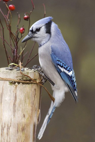 Blue Jay And Berries IPhone Wallpaper Mobile Wallpaper
