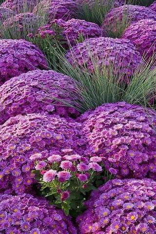 Purple Chrysanthemums IPhone Wallpaper Mobile Wallpaper