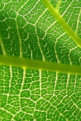 Plant Leaf IPhone Wallpaper Mobile Wallpaper