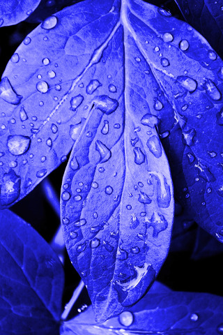 Blue Leafs Dops IPhone Wallpaper Mobile Wallpaper