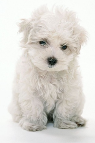 White Puppy IPhone Wallpaper Mobile Wallpaper