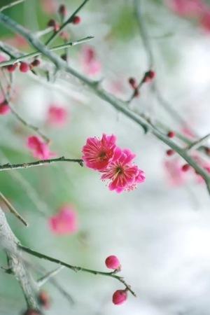 Plum Blossom IPhone Wallpaper Mobile Wallpaper