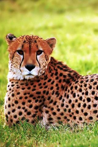 Cheetah Looking IPhone Wallpaper Mobile Wallpaper