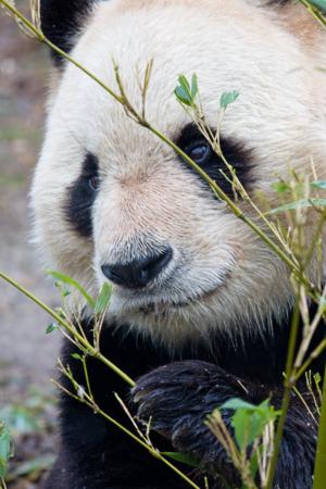 Panda Bear IPhone Wallpaper Mobile Wallpaper