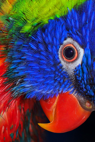 Parrot Colorful IPhone Wallpaper Mobile Wallpaper