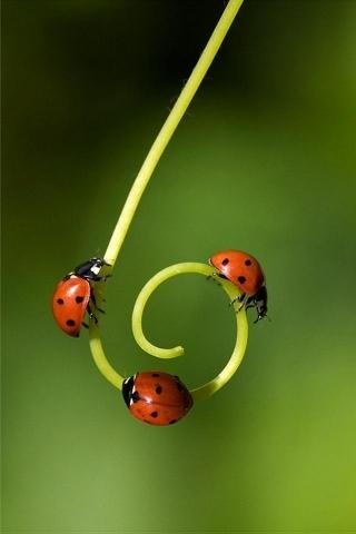 Ladybugs IPhone Wallpaper Mobile Wallpaper