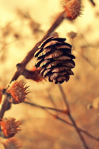 Pinecone IPhone Wallpaper Mobile Wallpaper