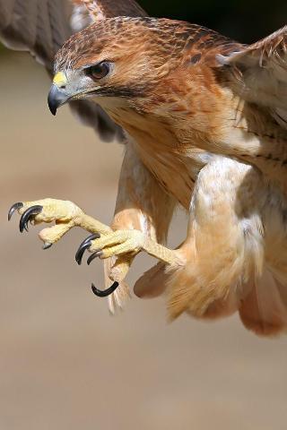 Birds Talons Out IPhone Wallpaper Mobile Wallpaper
