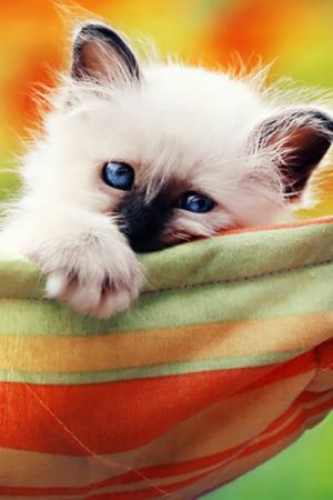 Kitten In A Hammock IPhone Wallpaper Mobile Wallpaper