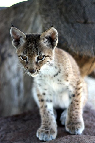Baby Bobcat IPhone Wallpaper Mobile Wallpaper