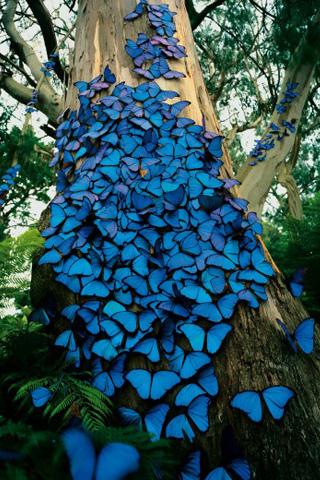 Blue Butterflies IPhone Wallpaper Mobile Wallpaper