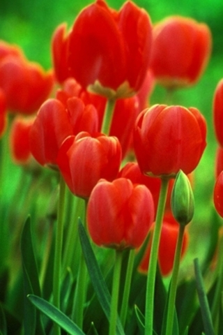 Red Tulips IPhone Wallpaper Mobile Wallpaper