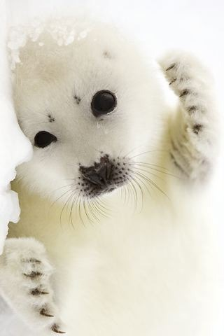 White Baby Harp Seal IPhone Wallpaper Mobile Wallpaper