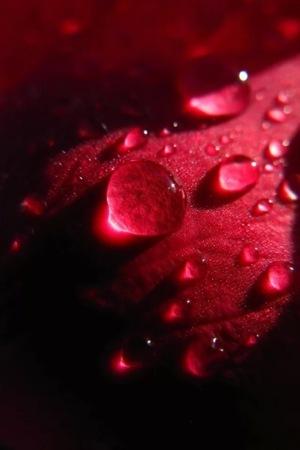Dew On Petals IPhone Wallpaper Mobile Wallpaper