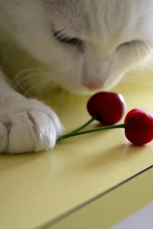 Cats And Cherry IPhone Wallpaper Mobile Wallpaper