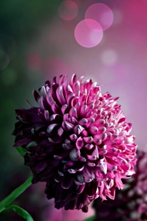 Purple Nature Flower IPhone Wallpaper Mobile Wallpaper