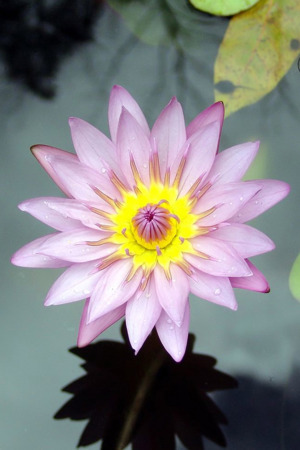 Purple Lotus Flower IPhone Wallpaper Mobile Wallpaper