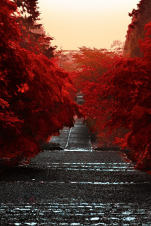 Japan Honshu Red Trees IPhone Wallpaper Mobile Wallpaper