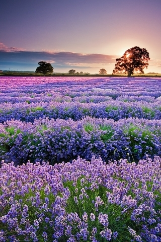 Lavender Garden Purple IPhone Wallpaper Mobile Wallpaper