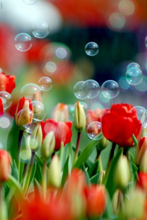 Tulips And Bubbles IPhone Wallpaper Mobile Wallpaper