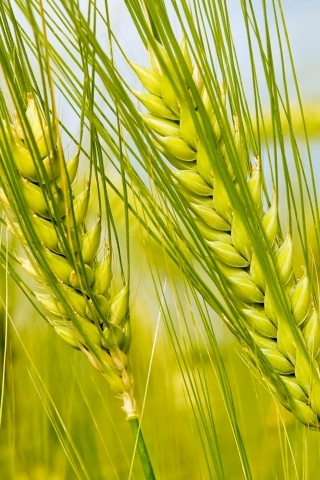 Green Wheat IPhone Wallpaper Mobile Wallpaper