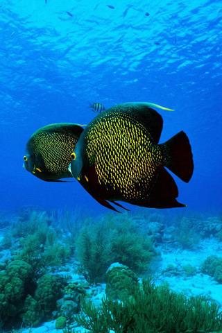 Tropical Fish IPhone Wallpaper Mobile Wallpaper