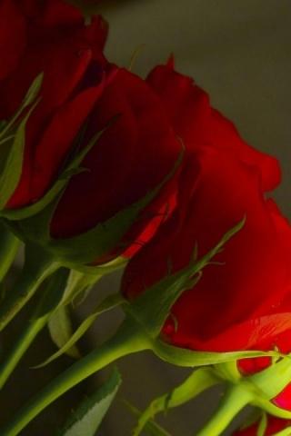 Love Rose IPhone Wallpaper Mobile Wallpaper