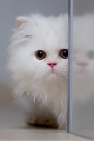 Cute White Cat IPhone Wallpaper Mobile Wallpaper