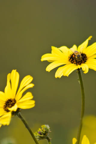 Yellow Flowers & Bee IPhone Wallpaper Mobile Wallpaper