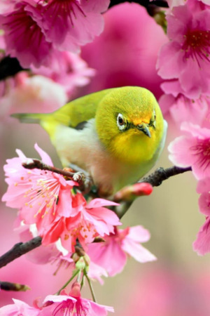 Cute Bird On Pink Flowers IPhone Wallpaper Mobile Wallpaper
