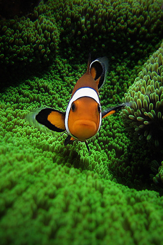Clown Fish Face IPhone Wallpaper Mobile Wallpaper