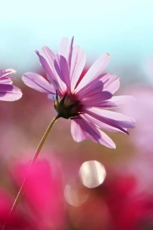 Cosmos Flowers IPhone Wallpaper Mobile Wallpaper
