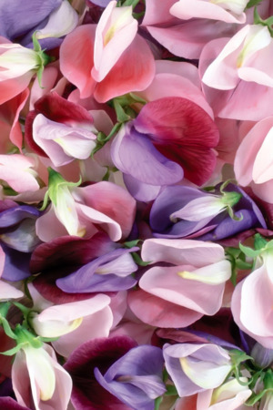 Purple & Pink Flowers IPhone Wallpaper Mobile Wallpaper
