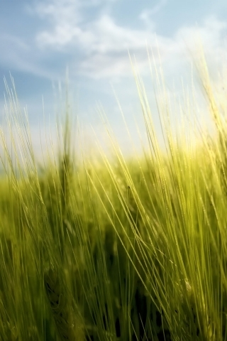 Wheat Grass Field IPhone Wallpaper Mobile Wallpaper