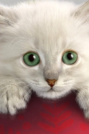 Cute White Cat IPhone Wallpaper Mobile Wallpaper