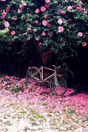 Pink Camellia And Bike IPhone Wallpaper Mobile Wallpaper